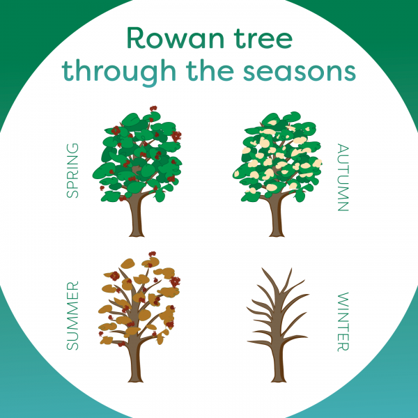 ROWAN TREE THROUGH THE SEASONS