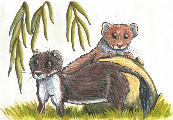 Stoat and weasel