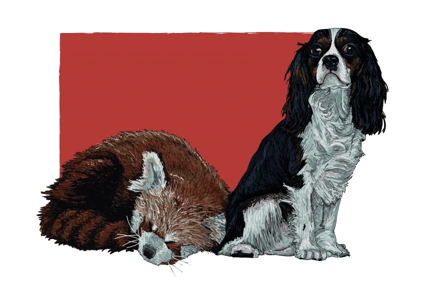 Sleepy Red Panda and King Charles Spaniel