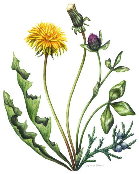 Packaging illustration for Oshlag (Dentdelion gin)