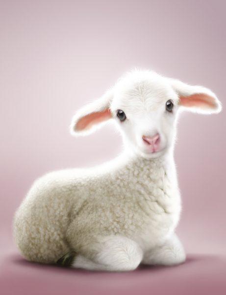 Lamb / RSPCA