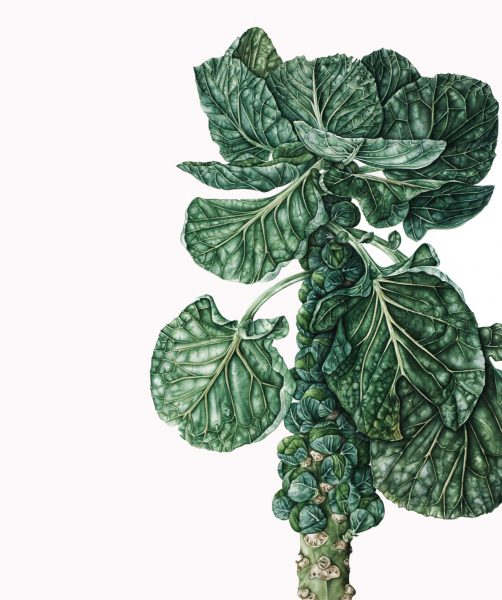 brussels sprout plant