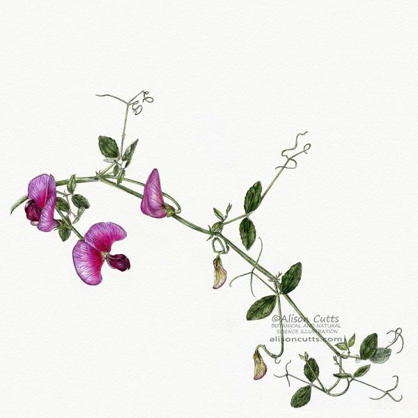 Lathyrus grandiflorus