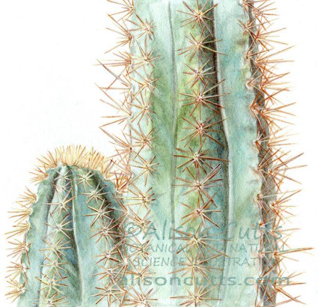 Pilosocereus - blue cactus