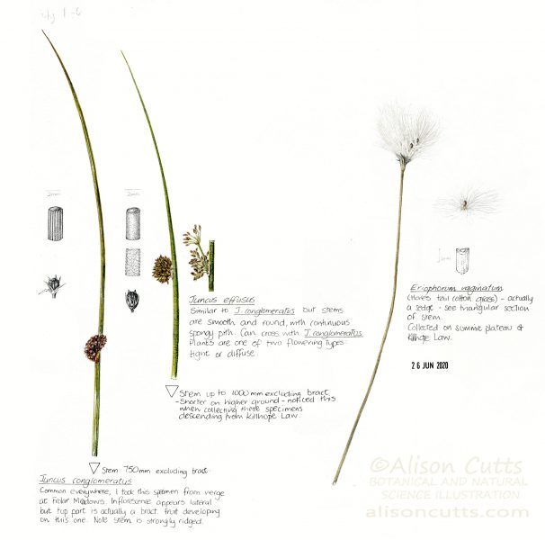 juncus and cotton grass