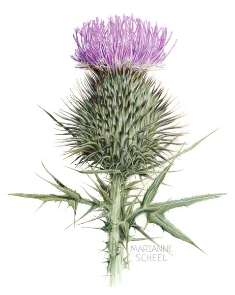 Blooming Thistle Flower