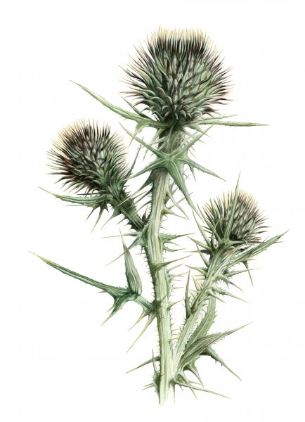 Thistle about to bloom