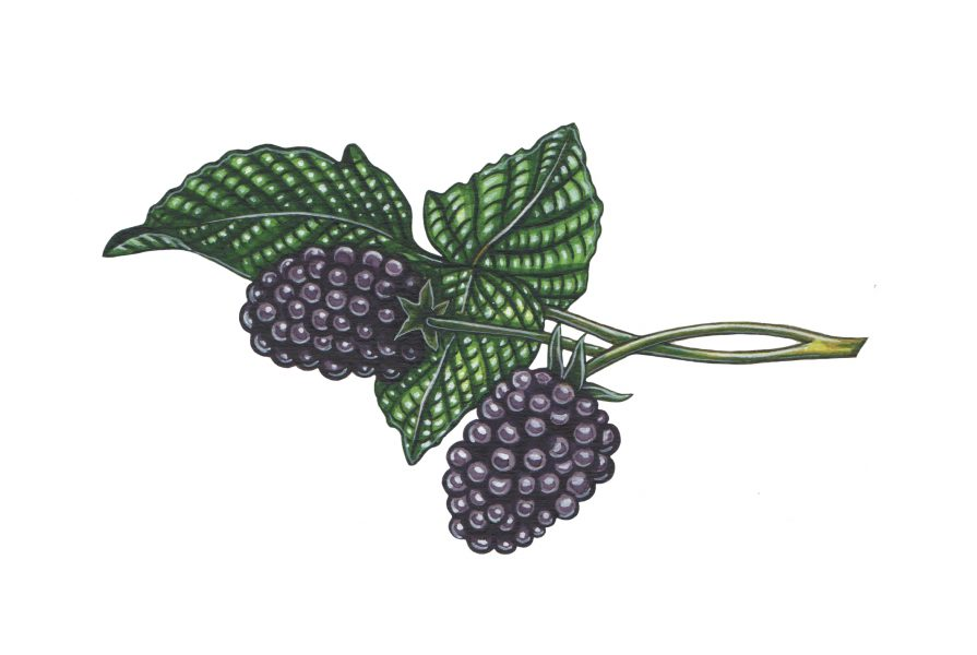 Blackberry illustration for The Wild Island Co