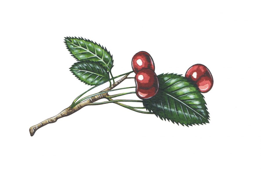 Cherry illustration for The Wild Island Co