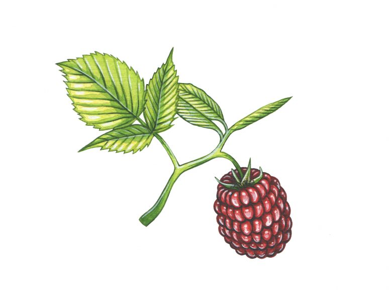 Raspberry illustration for The Wild Island Co