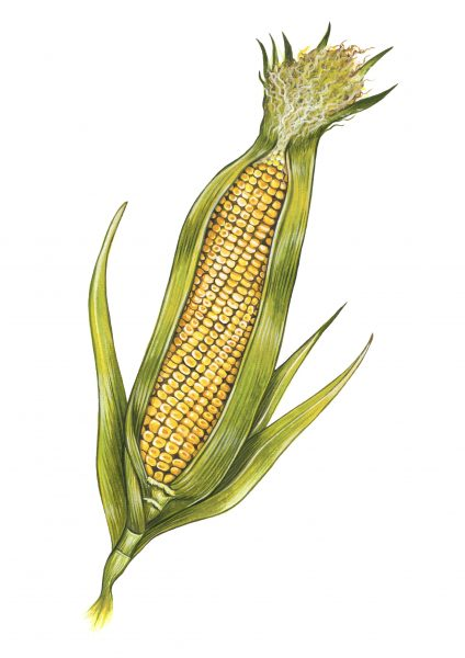 Sweetcorn illustration for Style of Wight magazine