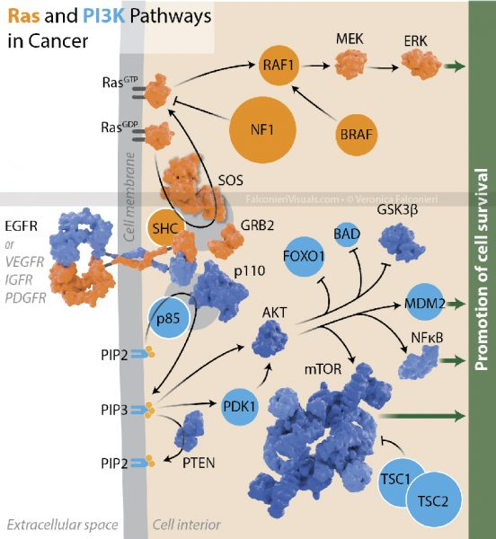 Ras and PI3K Signaling Pathways in Cancer