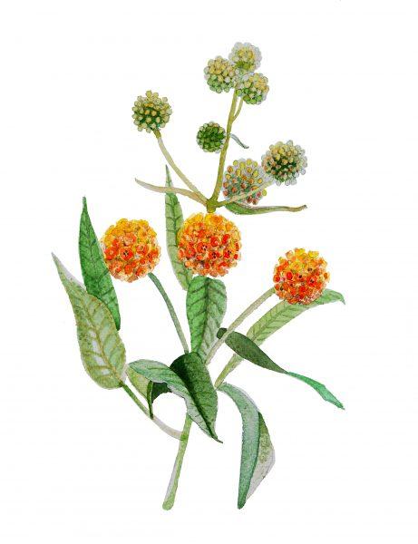 Matico Flower Botanical