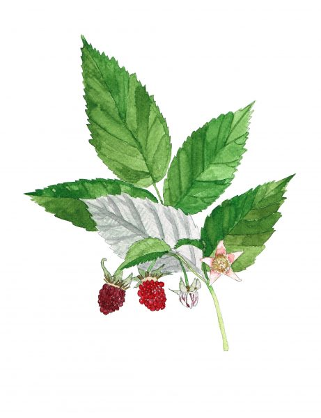 Raspberry Leaf Botanical