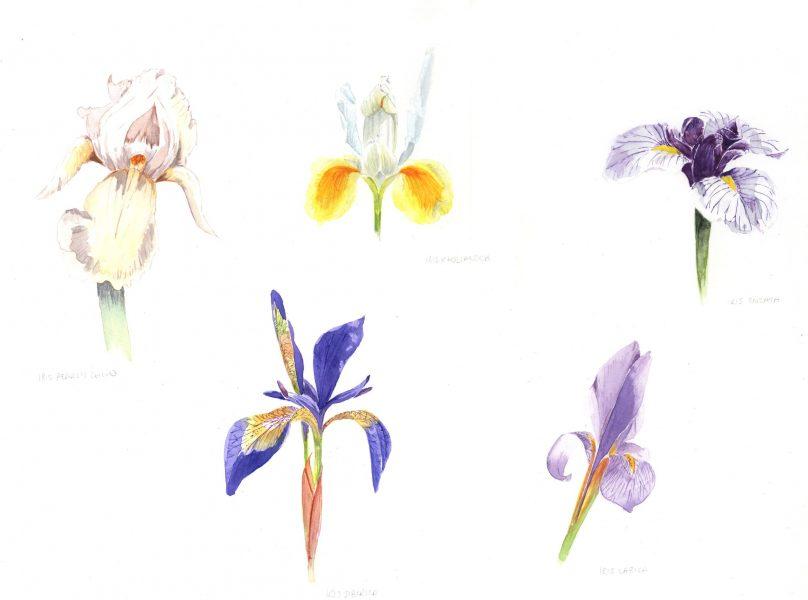 Iris Study