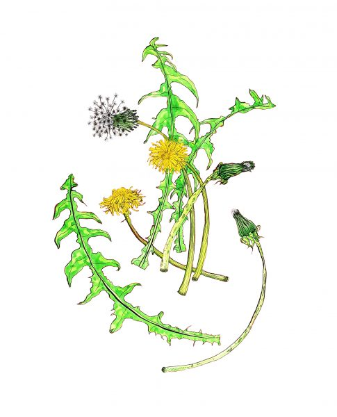 Arrangement of Dandelions on White