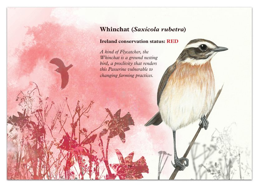 The Whinchat