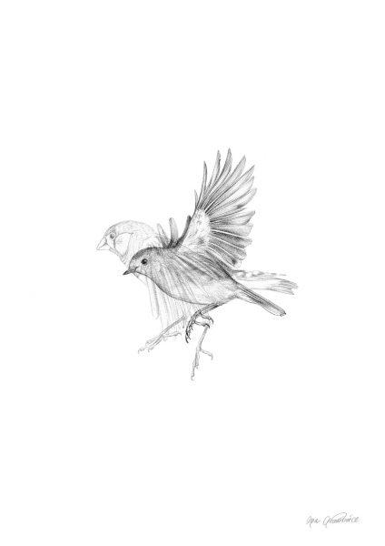 Finch-and-robin_drawing by Aga Grandowicz