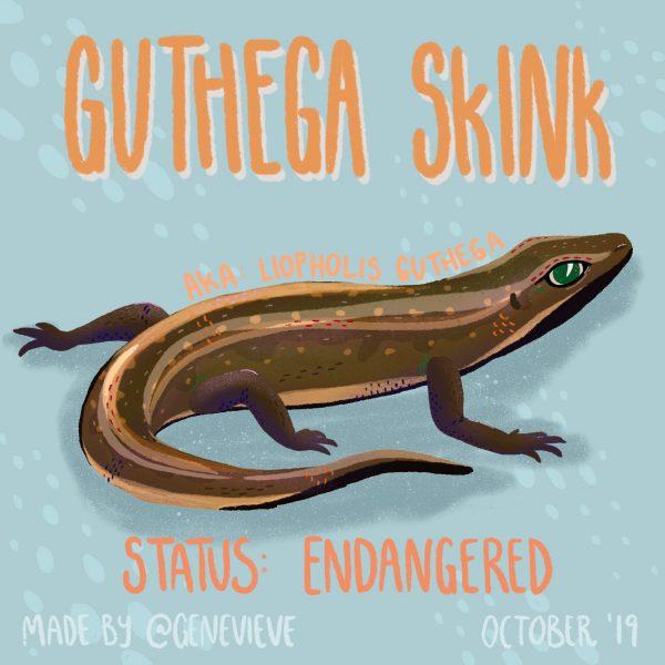 Guthega Skink