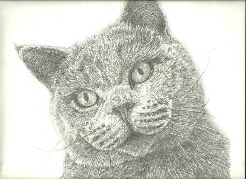 British short-hair cat