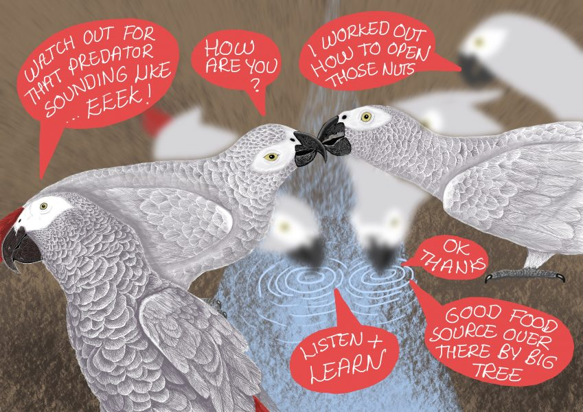 African grey parrots: Evolution of vocal learning
