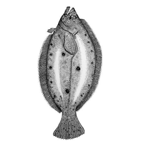 Beba Flounder