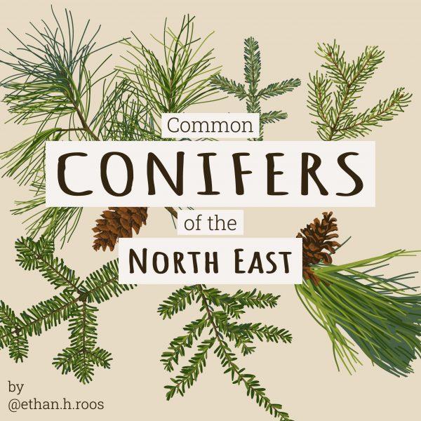 Conifers_Title
