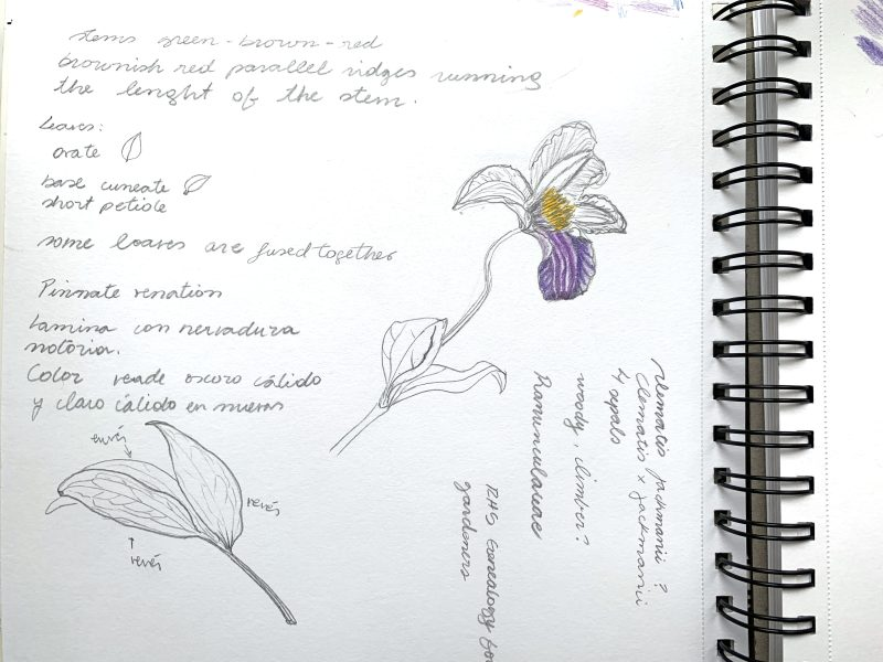 Clematis notes 1