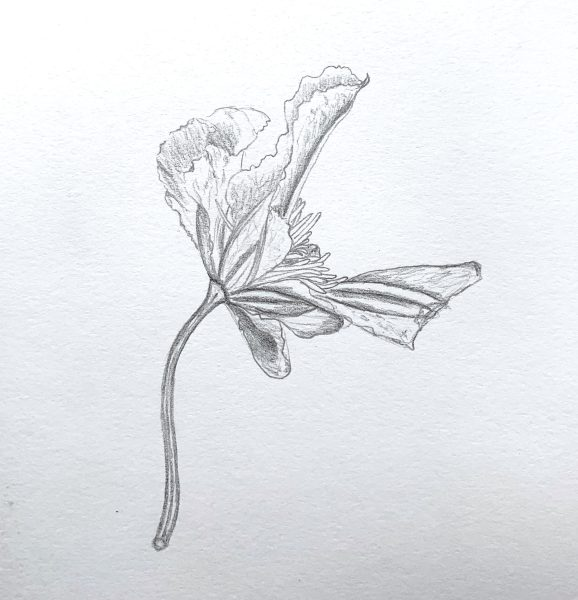 Clematis notes4