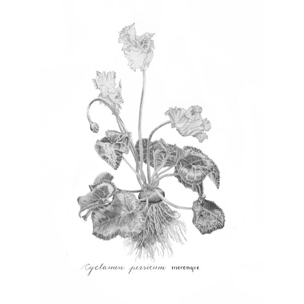 Cyclamen persicum graphite