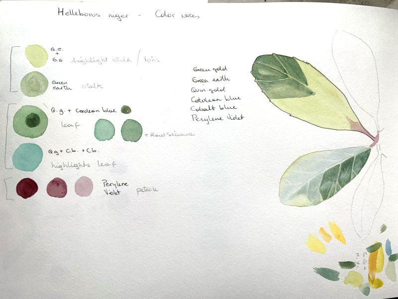 Helleborus niger study