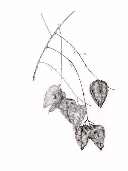 Koelreuteria paniculata copy