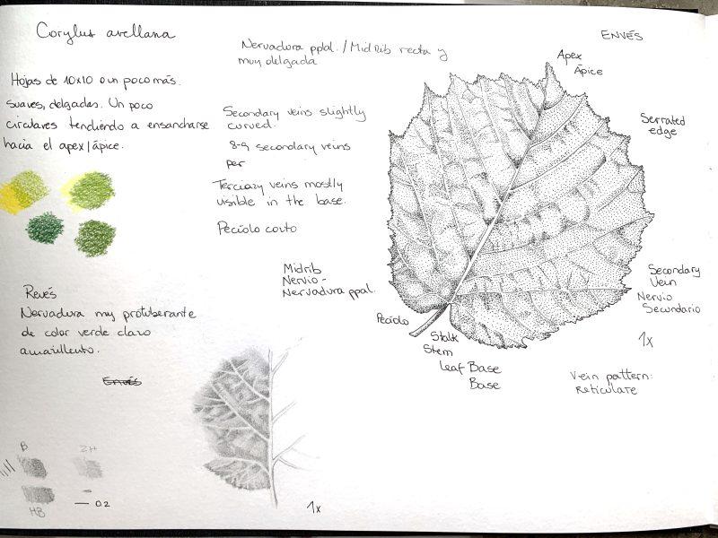 corylus avellana sketch notes