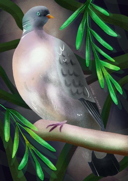 wood pigeon on ash tree