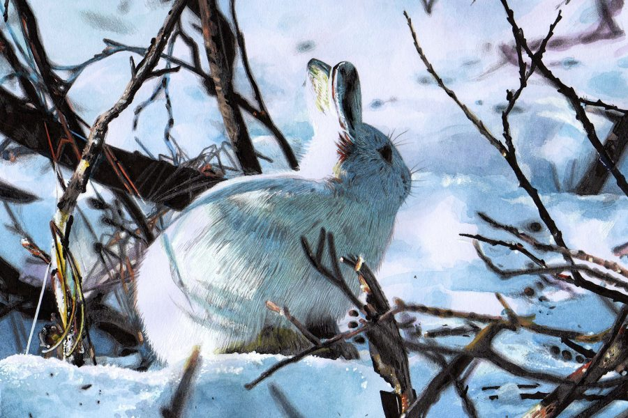 Arctic Hare Illustration