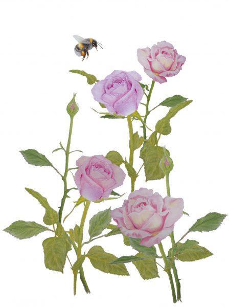 Brush Rose