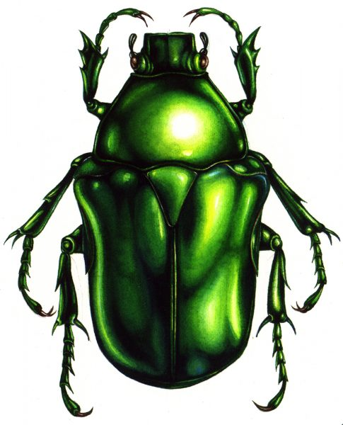 Heterorrhina elagans beetle