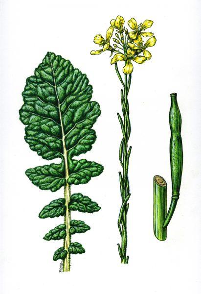 Hoary Mustard