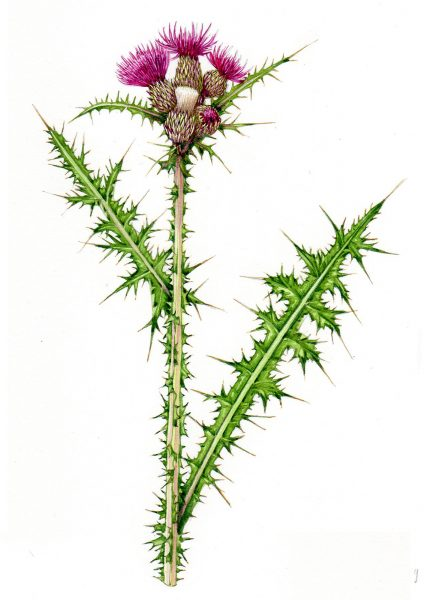 Marsh Thistle Cirsium palustre