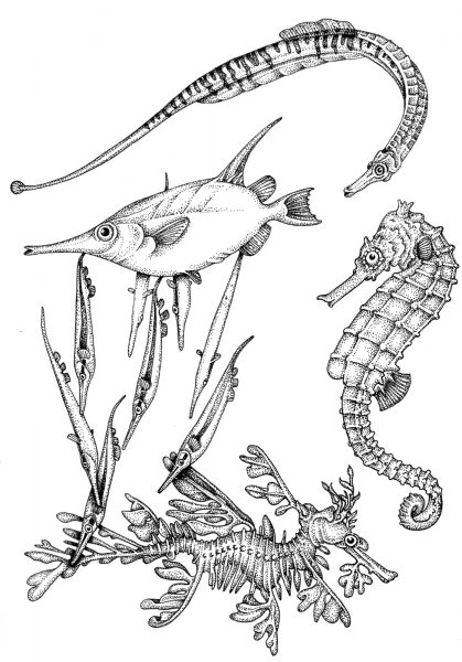 Members of the seahorse family