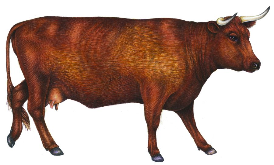 Red Devon Cow