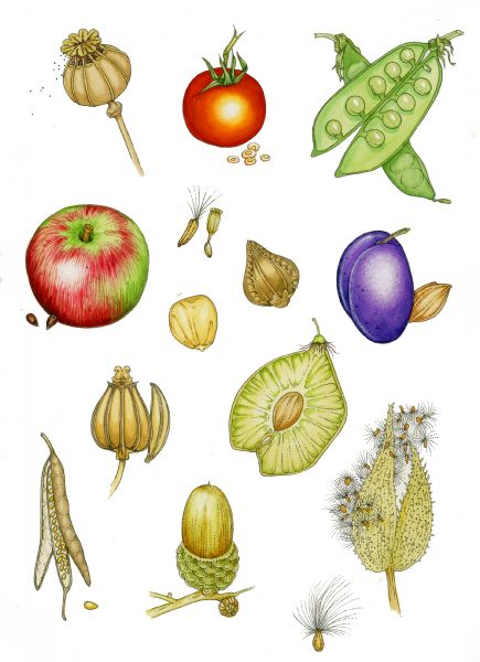 Seed and Fruit types: Botanical illustration