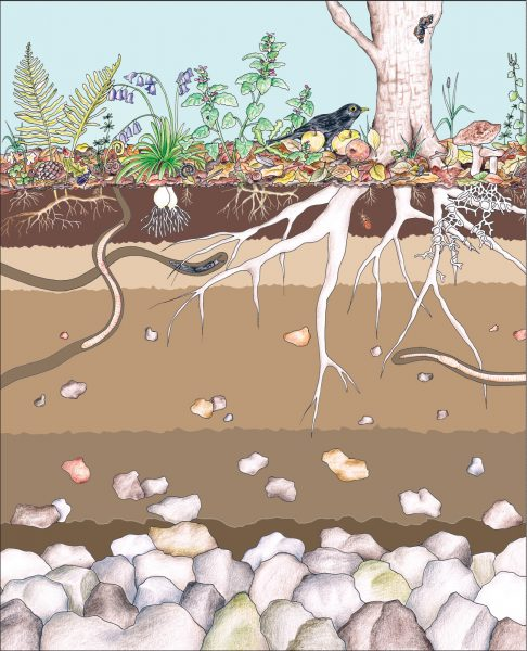 Soil Horizons  from