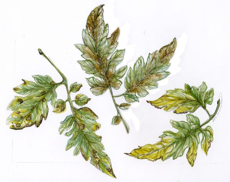 Tomato Diseases ~ Spot Illustration for �Mother Earth News� ~Dyes & Ink